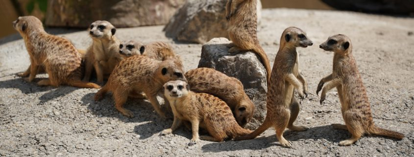 Meerkat family speaking meerkat language
