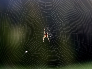 Spider in spiderweb