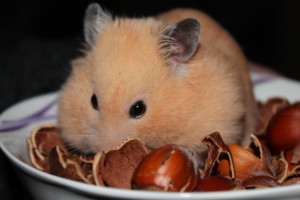 Hamster with hazelnuts
